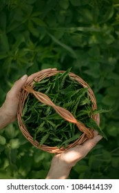 Woman carrying nettle in the hamper. Hipster. Harvest. Herbs. Green natural background with soft bokeh. Selected focus. Detailed picture. Natural medicine concet