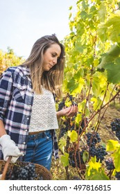 Woman in casual clothes tasting ripe grape during harvest in vineyard