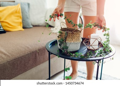 Woman checking how long String of hearts has grown at home. Housewife taking care of home plants and flowers.