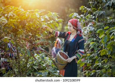 woman coffee farmer is harvesting coffee berries in the coffee farm, Woman wearing traditional thai lanna people ,vintage style,Thailand