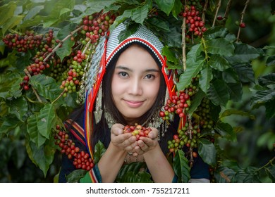 woman coffee farmer is harvesting coffee berries in the coffee farm Woman wearing traditional thai lanna people ,vintage style,Thailand