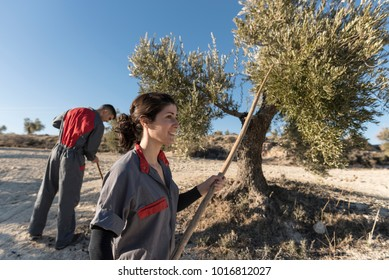 Woman collecting olives for oil with man hitting trees with stick