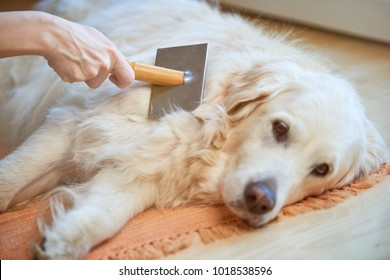 Woman combs old Golden Retriever dog with a metal grooming comb.