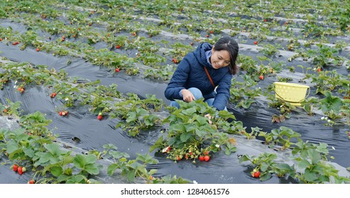 Woman cut strawberry in farm