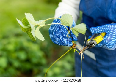 Woman cuts runner from the strawberry plant and prepares  for planting, agriculture and plant propagating concept