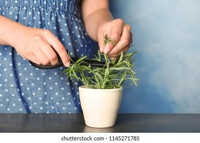 Woman cutting fresh rosemary in pot, closeup