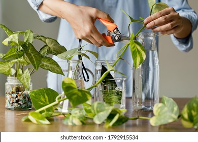 Woman cutting pathos plants for Water propagation. Water propagation for indoor plants.