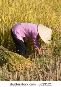 A woman cutting rice