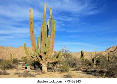 A woman demonstrates the incredible height of the large Elephant Cardon cactus or cactus Pachycereus pringlei, also known as the Mexican Giant Cardon Cactus, Baja California Sur, Mexico