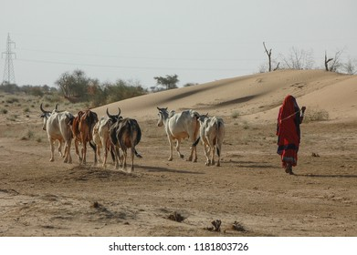 Woman driving a herd of cows in the desert area of Jaisalmer, Rajasthan, India