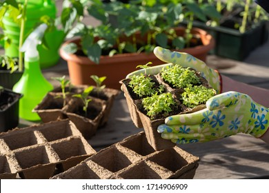 A woman is engaged in vegetable growing. Concept of self isolation during a pandemic COVID-19. Growing seedlings and vegetables provide themselves with products on their site. ECO food.