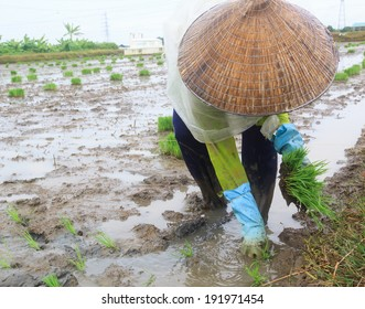 Woman farmer growing rice under rain on the paddy rice farmland. Mekong river Delta, Vietnam.