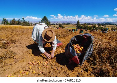 woman farmer harvesting potatoes