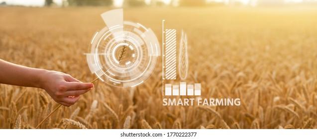 Woman farmer holds an ear of wheat. Grain ripeness analysis infographic. Smart farming - Shutterstock ID 1770222377
