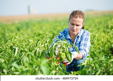 Woman farmer kneeling and picking paprika in agricultural field
