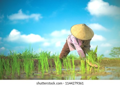 Woman farmer planting rice in field, paddy field, young paddy