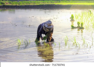 Woman farmer  pulls out the rice seedlings to get it ready for planting in rice field and have soft blur lighting.,working on rice field udonthani,Thailand