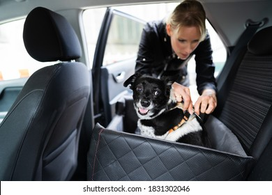 Woman Fastening Dog In Car With Safe Belt In Seat Booster