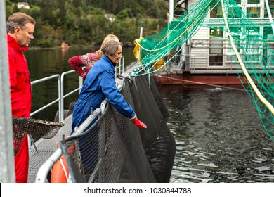 A Woman  Feeding  big Atlantic Salmon Fish at Salmon Fish Farm -Hardanger Fjord,Norway 19-09-2013