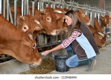 Woman feeding cows inside the barn