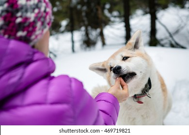 Woman feeding a dog on winter hiking trip in forest. Girl in white winter woods with akita dog. Recreation and healthy lifestyle outdoors. Motivation and inspirational winter landscape.