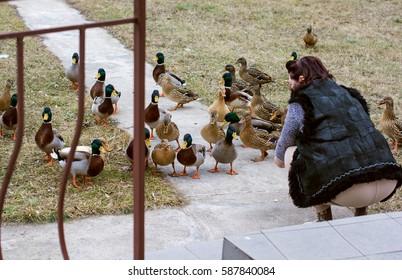 Woman feeding ducks in outside