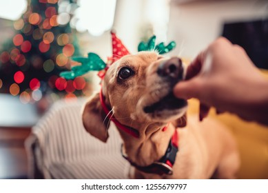 Woman feeding small yellow dog wearing antlers on the sofa by the Christmas tree