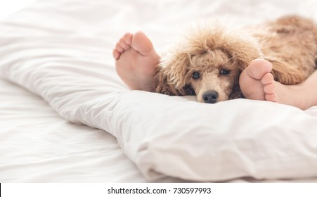 Woman feet on the bed with poodle dog.