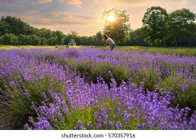 a woman in a field of lavender
