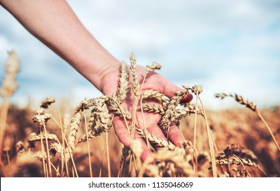 Woman in the field touching wheat ears by hand. Harvest concept