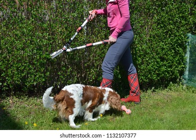 Woman in garden clothes trimming a garden hedge in a company with her charming dog - cavalier king charles spaniel