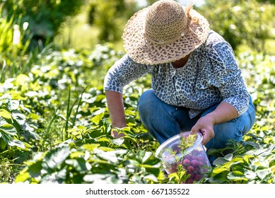 Woman in the garden or working in field during strawberry picking in organic farm