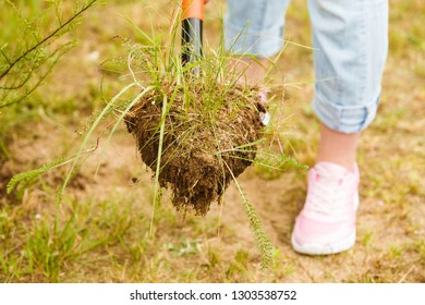 Woman gardener digging hole in ground soil with shovel for removal withered dried thuja tree from her backyard. Yard work around the house