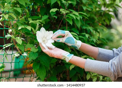Woman gardener holding a clematis flower in her hands, checking petals