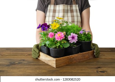 Woman gardener holds a wooden tray with several flower pots. Isolated on white.