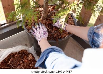Woman gardener mulching potter thuja tree with pine tree bark mulch. Urban gardening