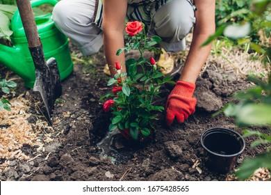 Woman gardener transplanting red roses flowers from pot into wet soil. Summer spring garden work.