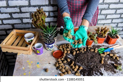 Woman gardeners hand transplanting cacti and succulents in cement pots on the wooden table. Concept of home garden.