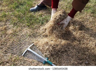 Woman gardener's hands collecting dethatched lawn grass and a lawn rake in the spring garden