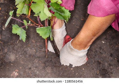Woman gardener's hands planting of a cultivar grapevine in the autumn garden