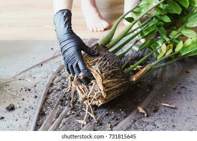 Woman is gardening. Displanting zamioculcas