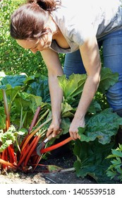 Woman at gardening in the garden is harvesting rhubarb on a sunny summer day