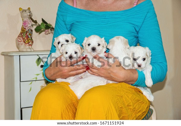 woman-gently-holds-little-maltese-600w-1