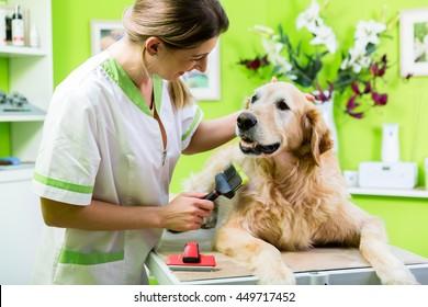 Woman getting Golden Retriever fur care at dog parlour
