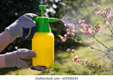 Woman with gloves spraying a blooming fruit tree against plant diseases and pests. Use hand sprayer with pesticides in the garden.