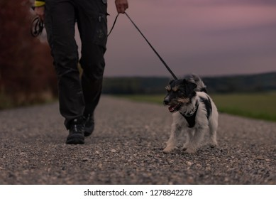 Woman goes with a dog walking in the autumn at night with heard torch - jack russell terrier