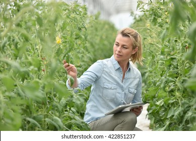 Woman in greenhouse checking tomato plants