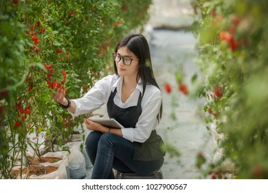 Woman in greenhouse checking tomato plants.Female farm worker checking plants at hothouse