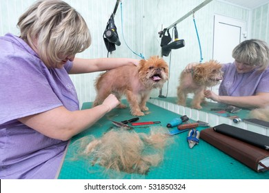 Woman groomer makes trimming Brussels Griffon gog