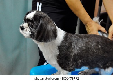 Woman grooming for black and white Shih Tzu dog, blow dryer and combing hair for dog concept